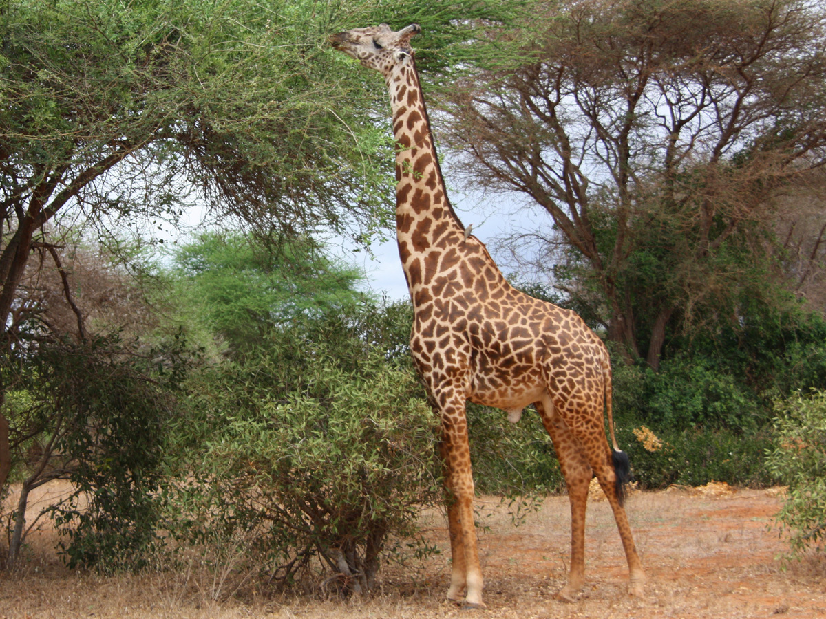 girafa2_radiovesteabuna