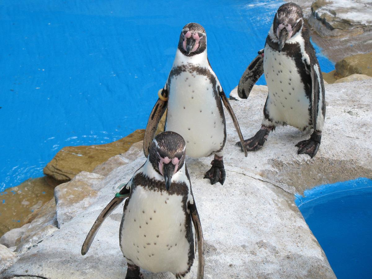 pinguini1_radiovesteabuna