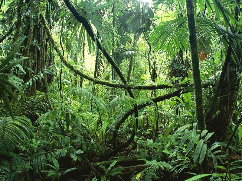 LIANAS IN INTERIOR OF LOWLAND RAINFOREST, LA SELVA BIOLOGICAL STATION, COSTA RICA